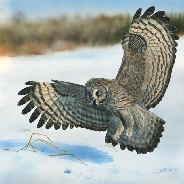 Lapinpöllö Strix nebulosa Great grey owl