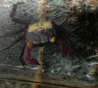 vampyyritaskurapu, vampire crab, geosesarma sp